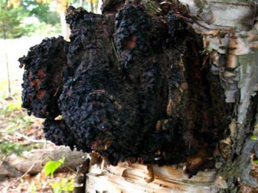 LE CHAGA (champignon)