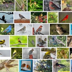 Où sont passés les oiseaux? «Le printemps silencieux», version 2.